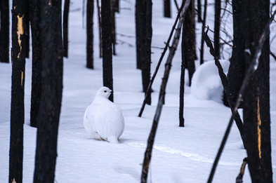 Ptarmigan in an Old Burn