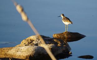 Lakeside Greater Yellowlegs