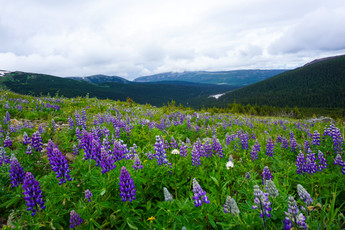 Wild Lupines in a Subalpine Meadow