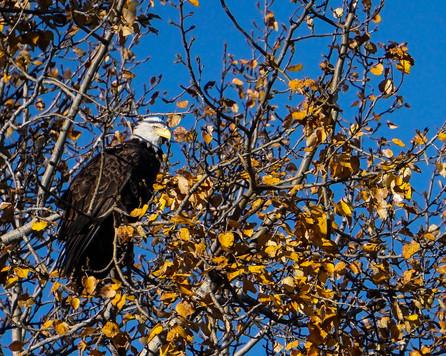 Autumn Aspen Eagle