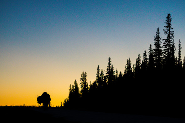 Sunset Bison Silhouette