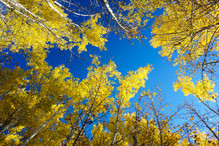 Looking Up Through the Autumn Aspen's