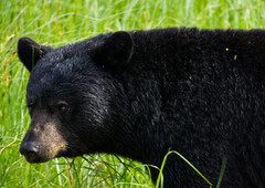 Young Black Bear in Marsh