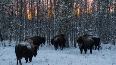 Snowy Sunset Wood Bison