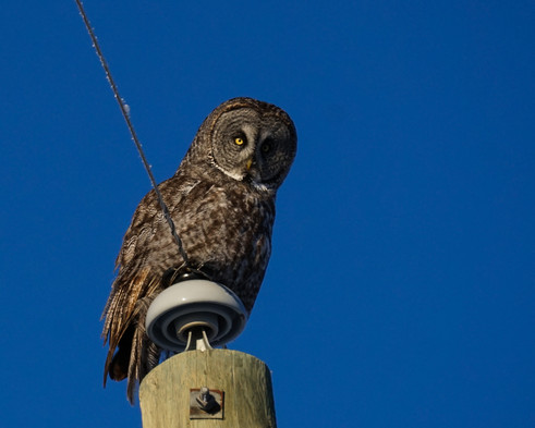 Great Grey Owl Perch