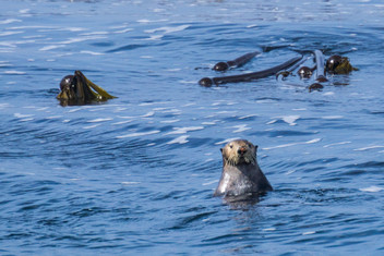 Sea Otter Survey