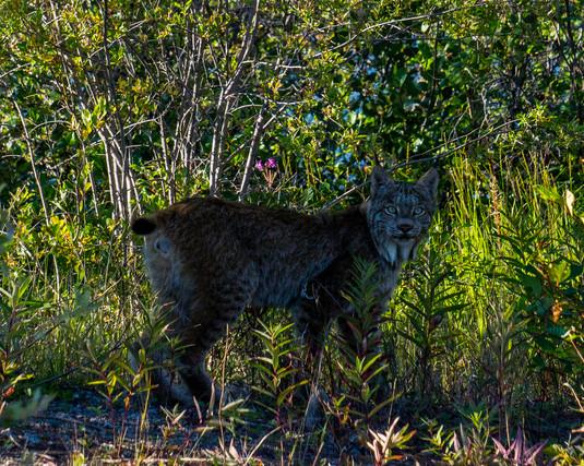 Summer Lynx