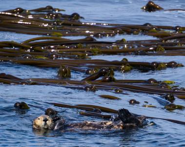 Floating Through the Bull Kelp
