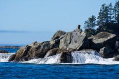 Bald Eagle in Pacific Rim NP