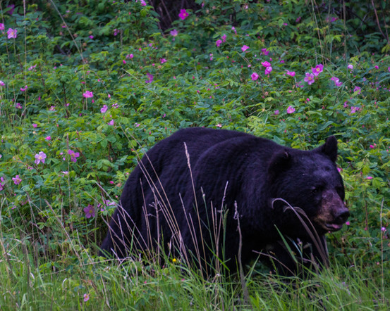 Prickly Wild Rose Black Bear