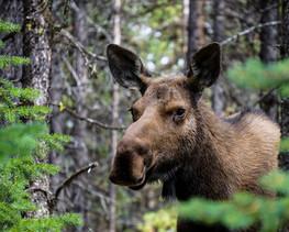 Cow Moose Close-Up