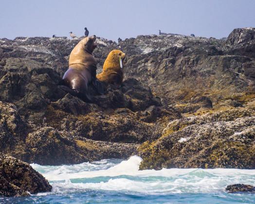 Stellar Sea Lions Vargas Island PP