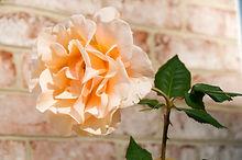 Chesapeake Manor Assisted Living Rose Photo, Maryland