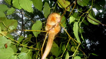 The silky anteater is seen for the first time in Sierra del Lacandón