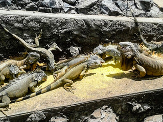 Iguanas to the rescue