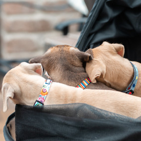 Luckylovedog puppies square-2.jpg