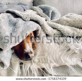 shepherd-dog-sleeping-on-sofa-600w-17583