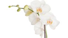 Cómo cuidar tu orquídea Phalaenopsis