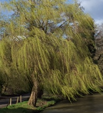 Wind in the Willows literally