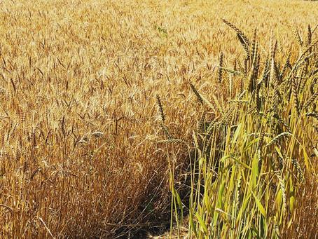 """""""小麦は食べるな""""から""""小麦を食べよう""""へ"""