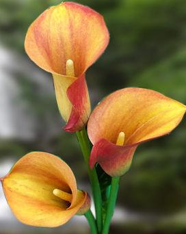 mango-mini-calla-lilies.jpg