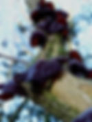 Judas_ear_fungus_on_elder_tree_-_geograp