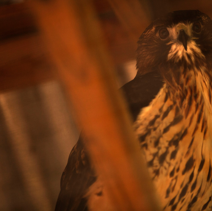 Akua, a 25-year-old red-tailed hawk, looks out from her cage at Possumwood Acres at Hubert, N.C. recently. Akua was a master falconer's bird before her owner passed away.