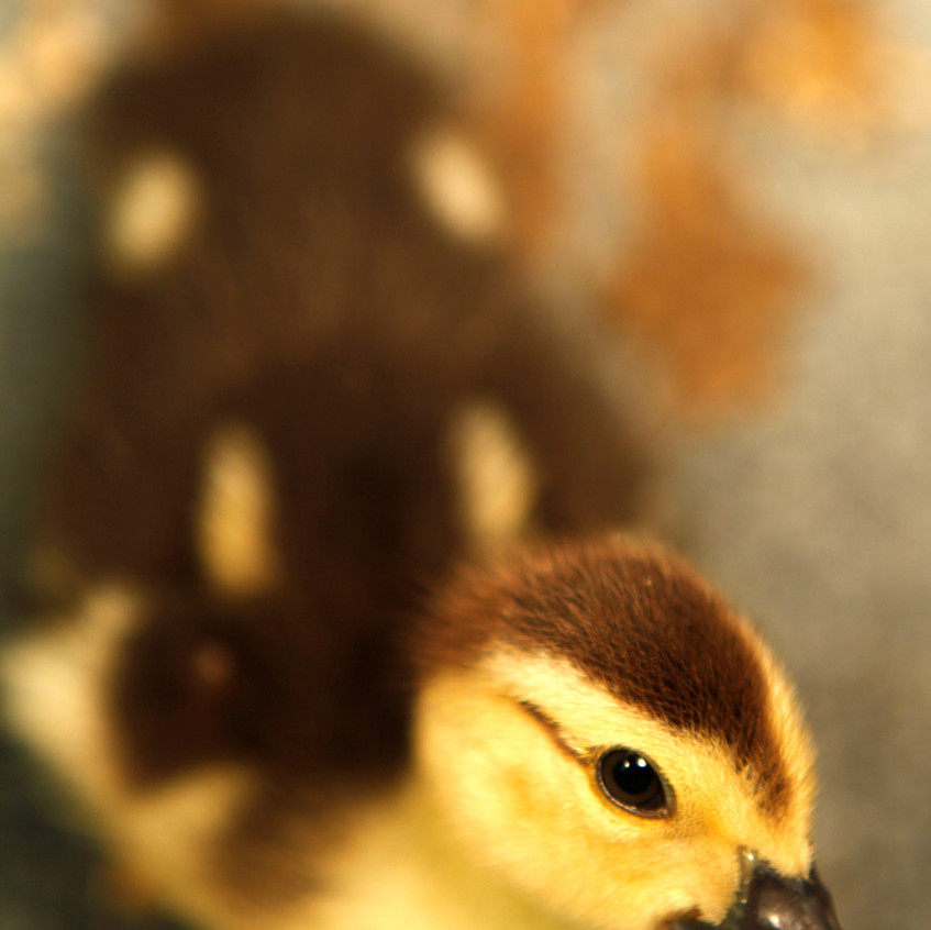 A duckling looks up from his cage at Possumwood Acres Wildlife Sanctuary in Hubert N.C., June 27. Volunteers at Possumwood Acres care for small mammals, birds and reptiles. More than 1,000 animals are rehabilitated per year, and 150 disabled animals are cared for at the facility.
