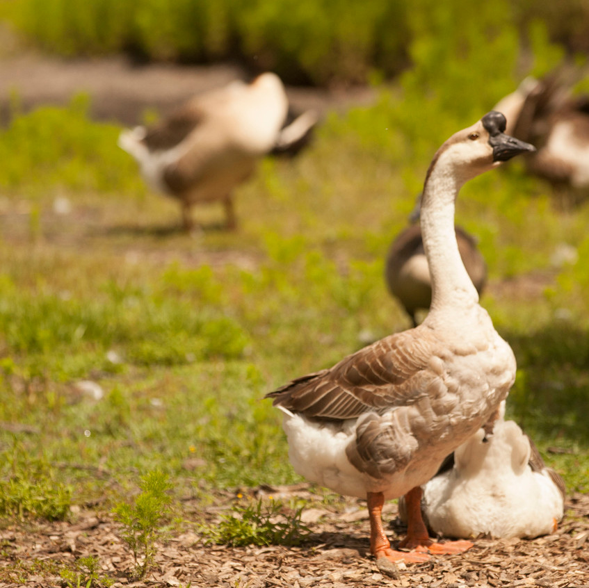 Homer, a brown chinese goose, stands with other geese at Possumwood Acres Wildlife Sanctuary at Hubert, N.C., May 22. Geese are typically admitted due to wounds caused by animal attacks, accidents involving cars and other people-related injuries, according to the facility's website.