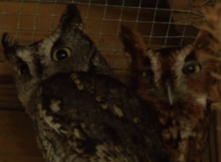 Onslow County deputies investigate theft of federally-protected owls