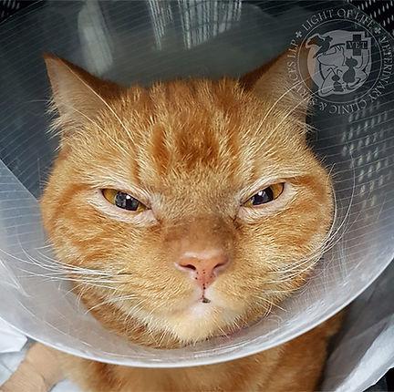 Light of Life Vet: Cat wearing an ecollar