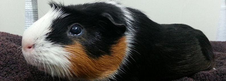 Light of Life Vet: Guinea pig adult female