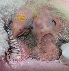 Light of Life Vet: 2 weeks old cockatiels