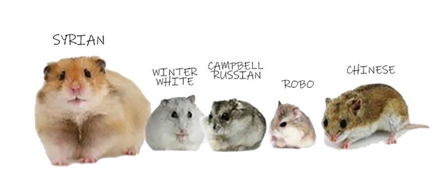 Light of Life Vet: Hamster species