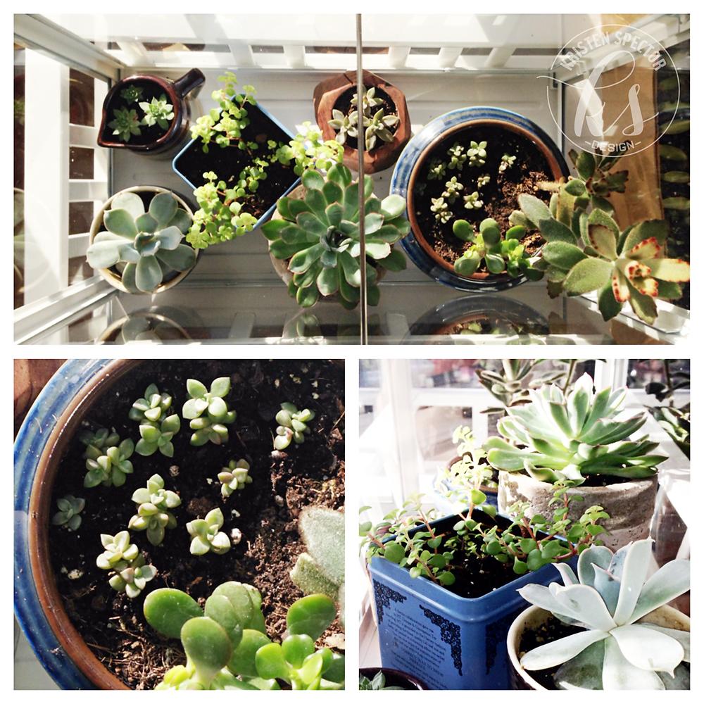 100 Crafty Days, Day 44 Propagating Succulents