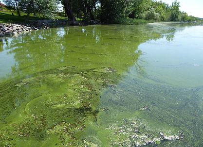 Photo of algae.jpg