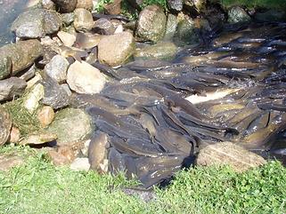 Carps spawning.png