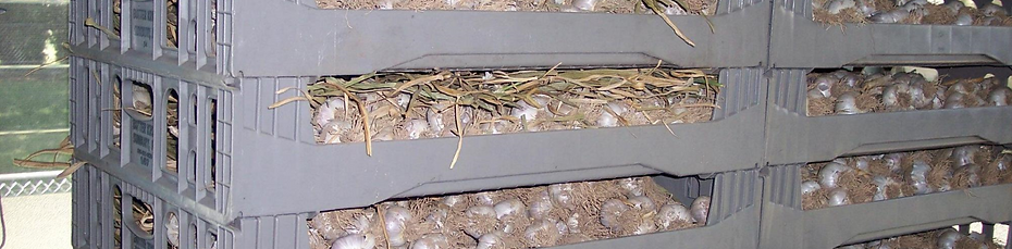 Garlic Storage - Dried Garlic -  Cured Garlic -  Fresh Garlic - A&L Garlic Farms