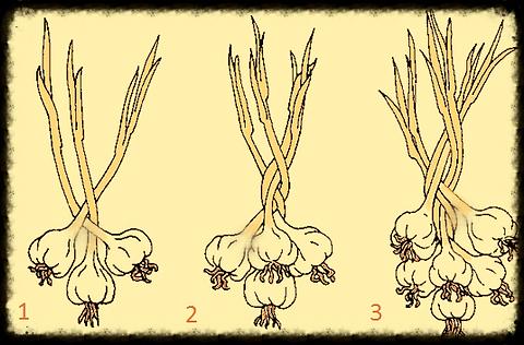 Festivals Garlic Braid Braiding Braids Hardneck Softneck Bulbs  Crafts Art Home Deco