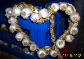 Braiding Garlic - Hardneck - Softneck - Garlic Storage -  A&L Garlic Farms