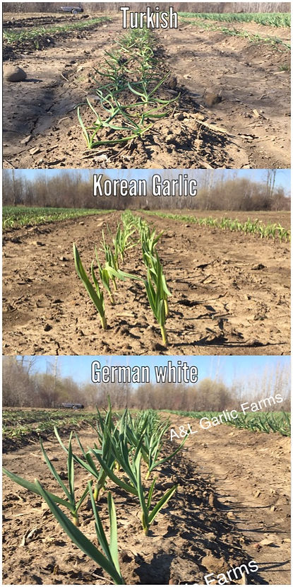 German, Korean, Turkish Garlic