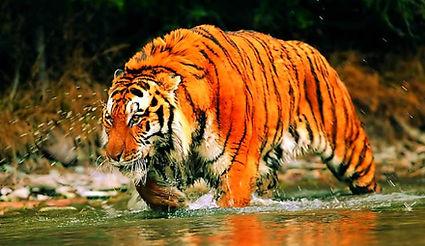 sunderbans_tiger.jpg