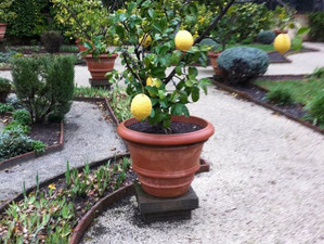 Lemon trees in Villa Borghese