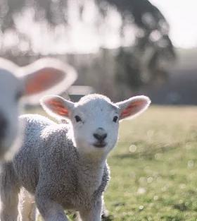 Lambs.webp