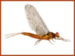 Male Hendrickson Dun Mayfly w Border.jpg