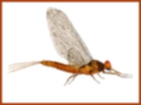 Male Hendrickson Dun Mayfly w Border.jpg