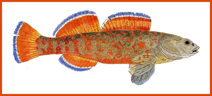 Redfin Darter MASTER BORDER.jpg