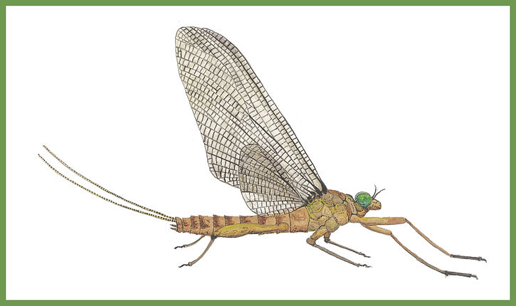 Male March Brown Dun Mayfly Border Maste