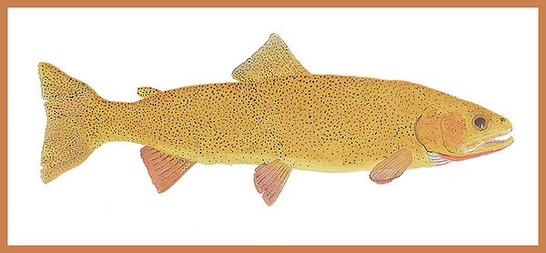 Snake River Fine - Spotted Cutthroat Tro
