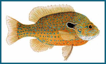 Longear Sunfish 2020 recrop border.jpg
